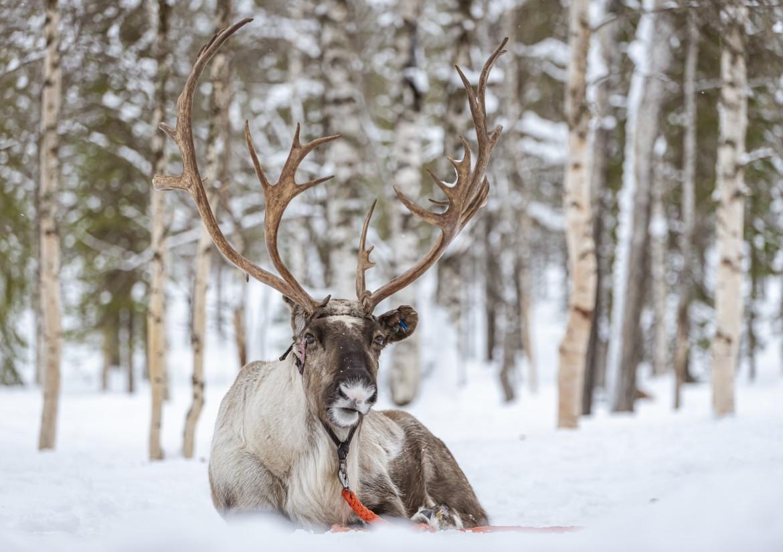 Fins Lapland rendier